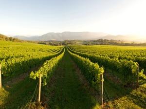 Bulong vines